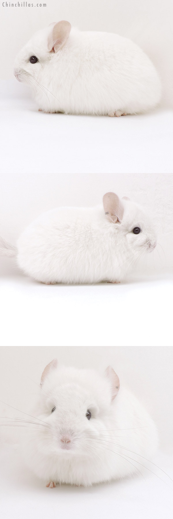 18049 Exceptional Pink White CCCU Royal Persian Angora Female Chinchilla