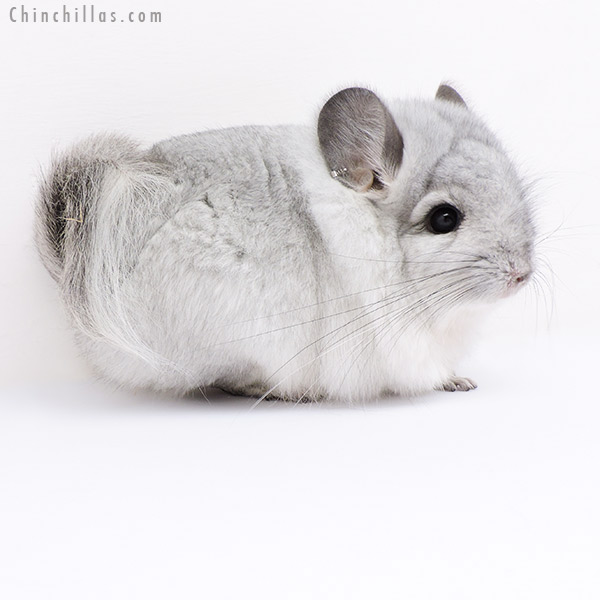 18060 Exceptional Silver CCCU Royal Persian Angora Male Chinchilla