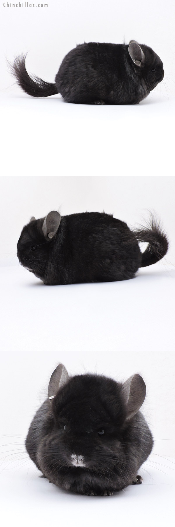 18069 Exceptional Blocky CCCU Royal Imperial Angora Male with Lion Mane Chinchilla