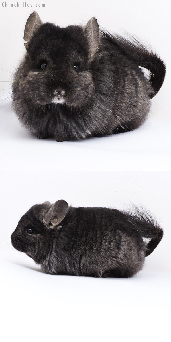 18094 Ebony CCCU Royal Persian Angora ( Locken Carrier ) Female Chinchilla