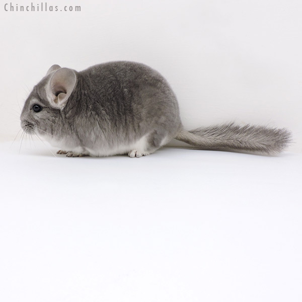 18149 Large Show Quality Violet 'Fading White' Male Chinchilla