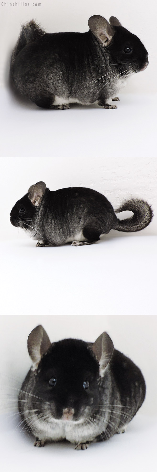 18186 Large Top Show Quality Black Velvet ( Violet & Sapphire Carrier ) Male Chinchilla