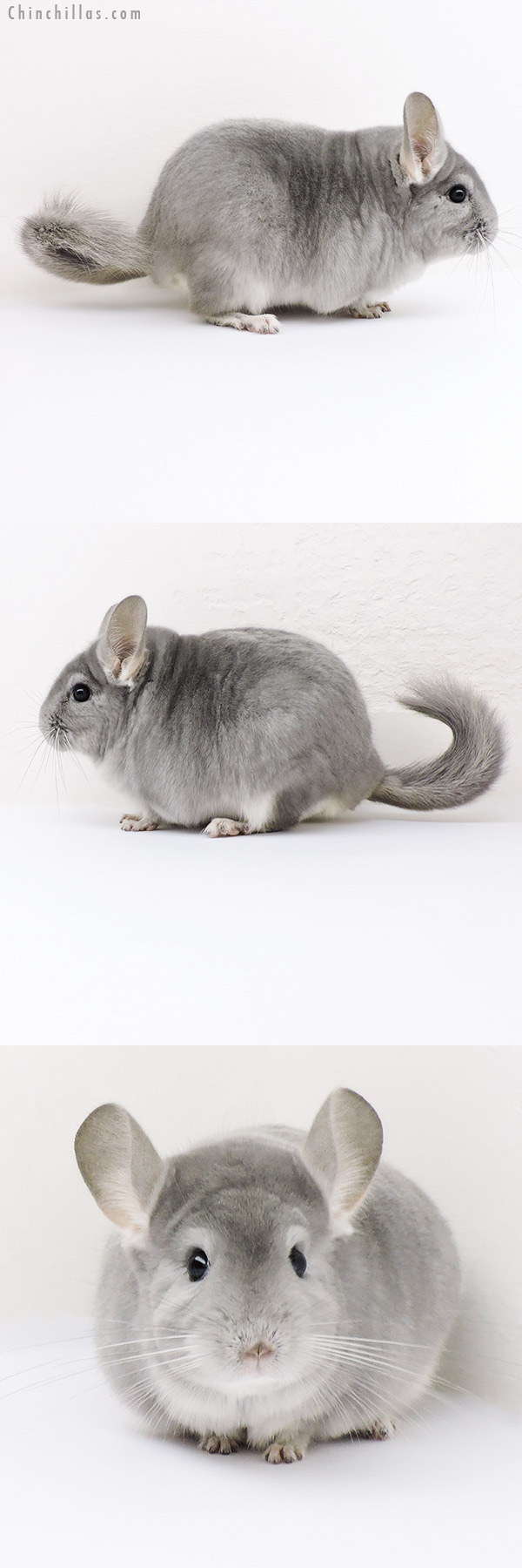 18184 Large Blocky Top Show Quality Blue Diamond Male Chinchilla