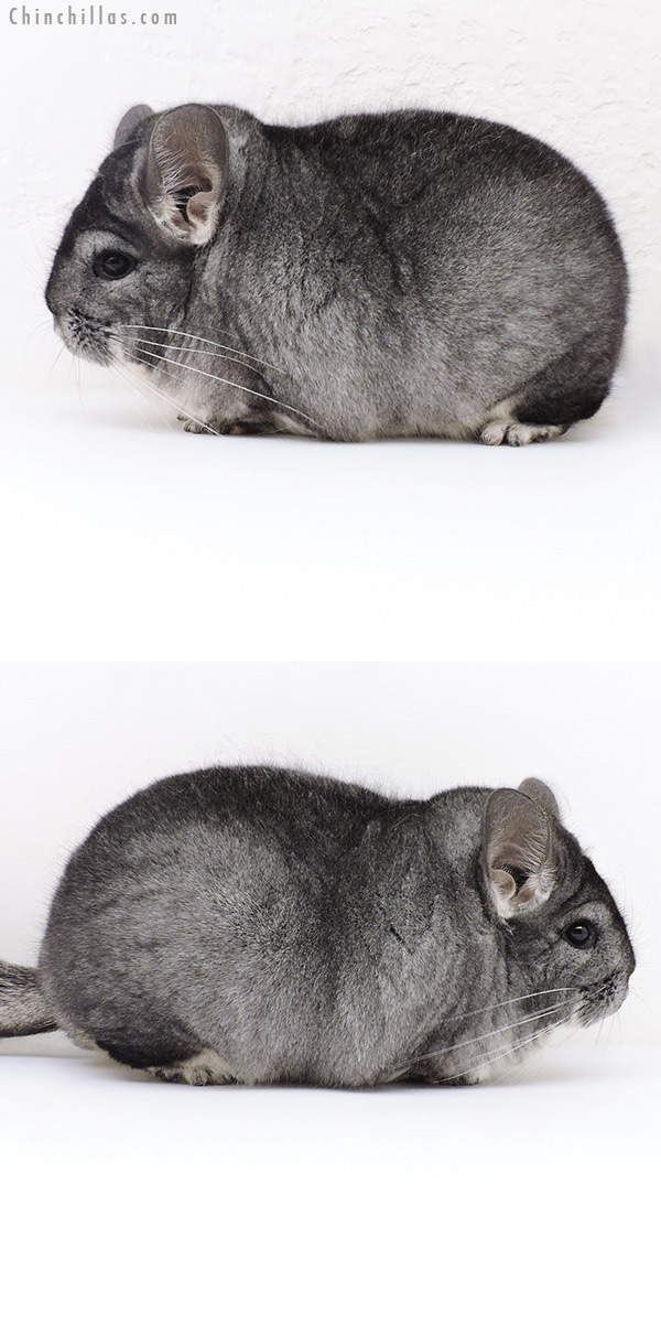18230 Extra Large Blocky Premium Production Quality Standard Female Chinchilla