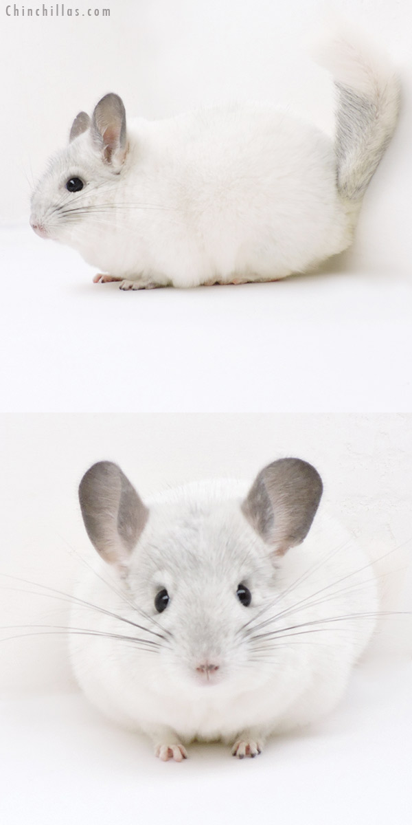 18255 Herd Improvement Quality Predominantly White Male Chinchilla