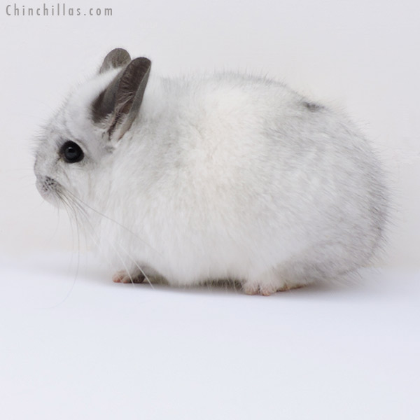 18277 White Mosaic CCCU Royal Persian Angora Male Chinchilla