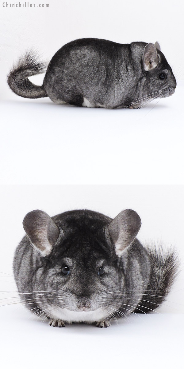 18308 Large Blocky Herd Improvement Quality Standard Male Chinchilla