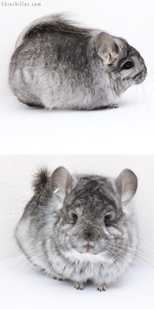 18297 Standard CCCU Royal Persian Angora Female Chinchilla