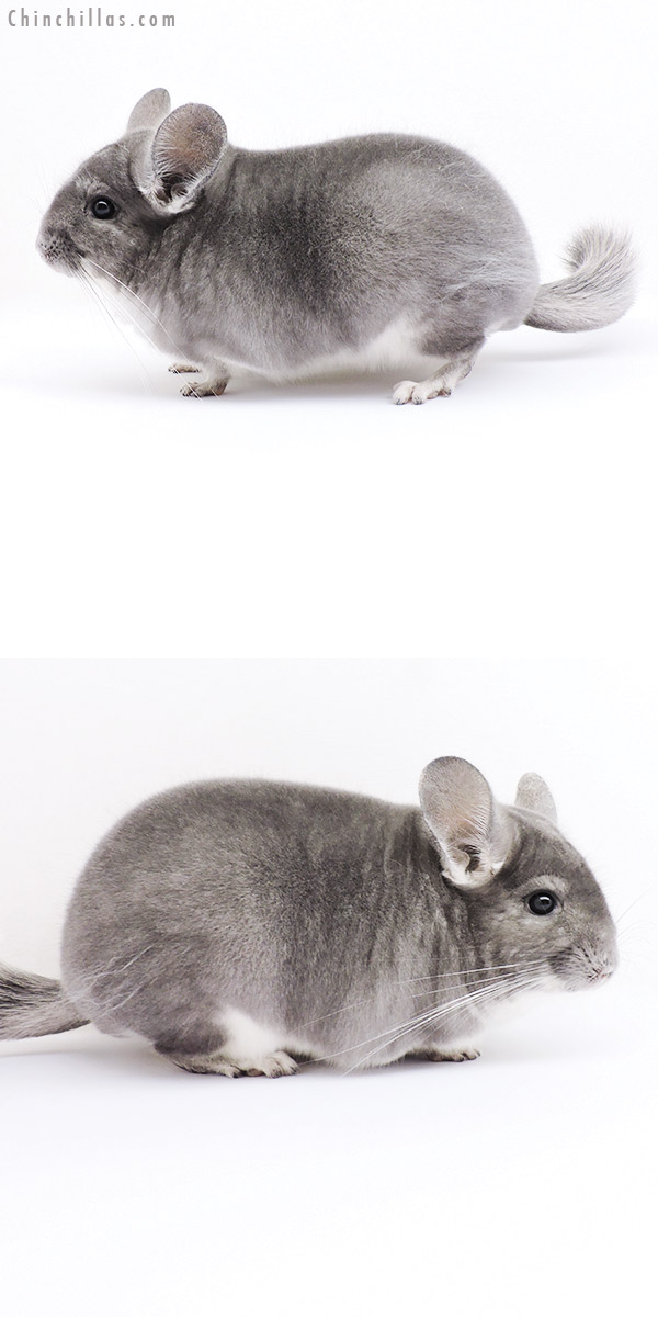 18304 Premium Production Quality Violet Female Chinchilla