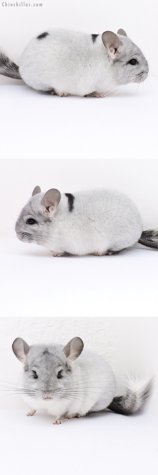 19029 Blocky Premium Production Quality Extreme Silver Mosaic Female Chinchilla