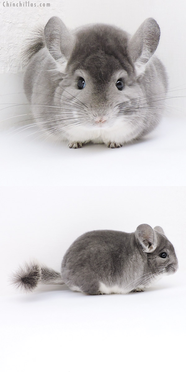 19106 Herd Improvement Quality Violet Male Chinchilla