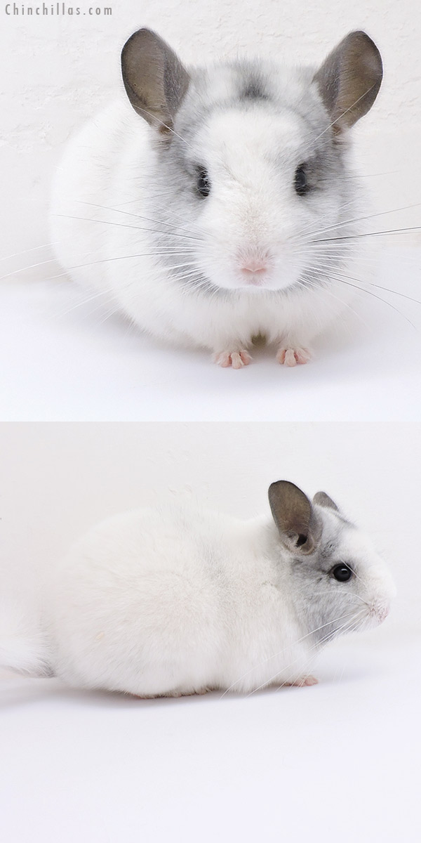 19069 Show Quality White Mosaic Female Chinchilla