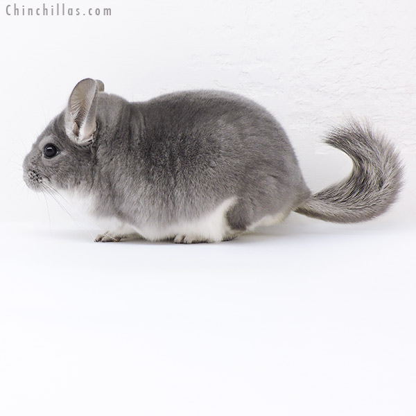 19104 Top Show Quality Violet ( Sapphire Carrier ) Male Chinchilla