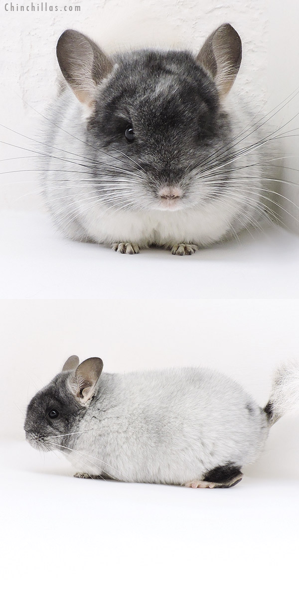 19153 Show Quality Brevi Type TOV White Female Chinchilla