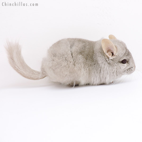 19139 Beige CCCU Royal Persian Angora Male Chinchilla