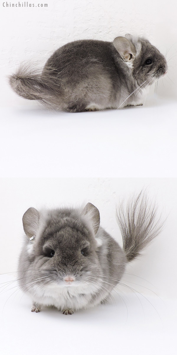 19140 Exceptional TOV Violet CCCU Royal Persian Angora Male Chinchilla