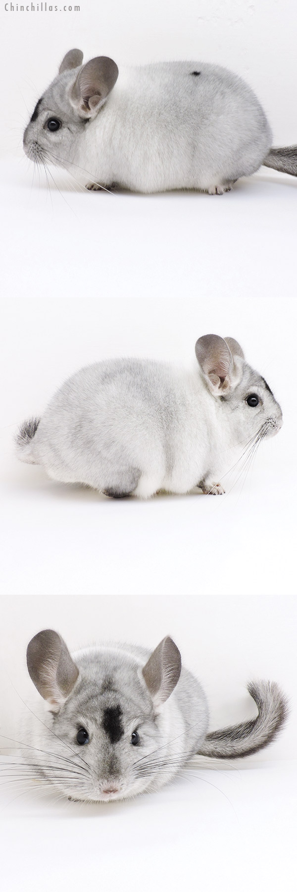 19154 Herd Improvement Quality Extreme White Mosaic Male Chinchilla