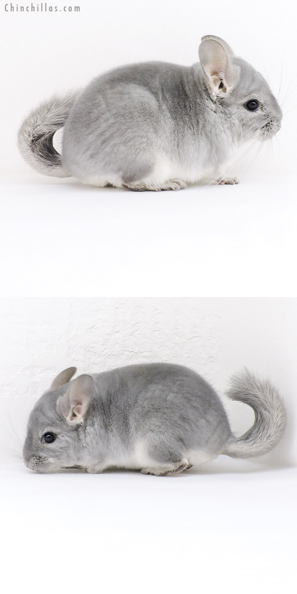 19162 Top Show Quality Blue Diamond Male Chinchilla