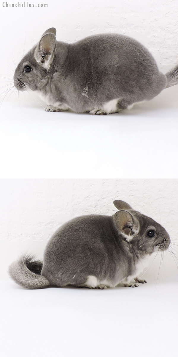 19165 Show Quality Violet ( Sapphire Carrier ) Female Chinchilla