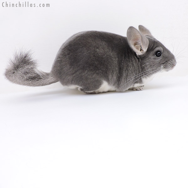 19168 Large Violet ( Sapphire Carrier ) Female Chinchilla