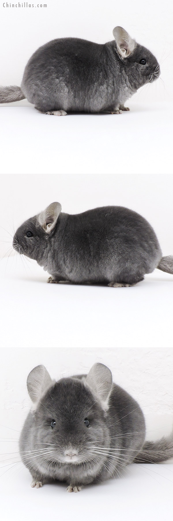 19185 Top Show Quality Wrap Around Sapphire Male Chinchilla