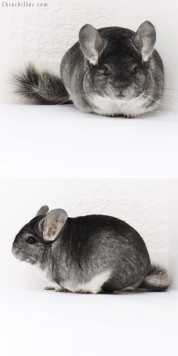 19182 Large Blocky Premium Production Quality Standard Female Chinchilla