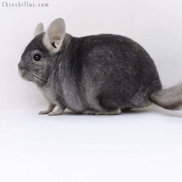 19212 Top Show Quality Wrap Around Sapphire Male Chinchilla