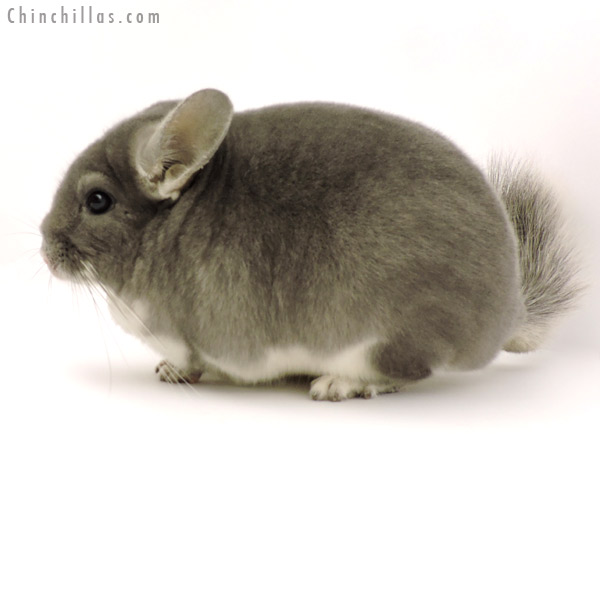 19293 Large Premium Production Quality Violet Female Chinchilla