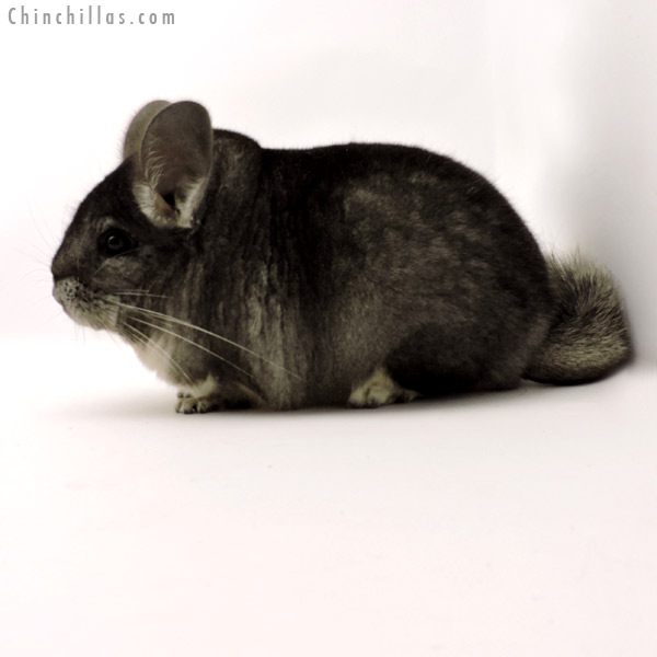 19294 Large Blocky Premium Production Quality Standard Female Chinchilla