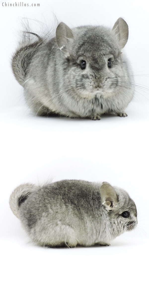 19324 Exceptional Standard CCCU Royal Persian Angora Male Chinchilla