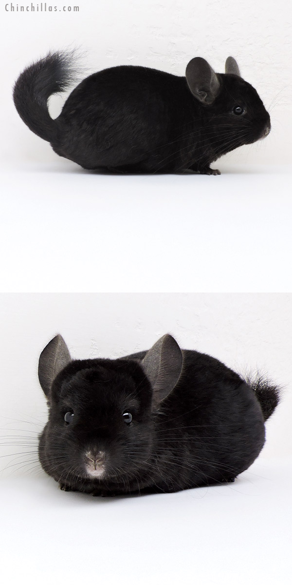 18190 Ebony ( Locken Carrier ) Female Chinchilla