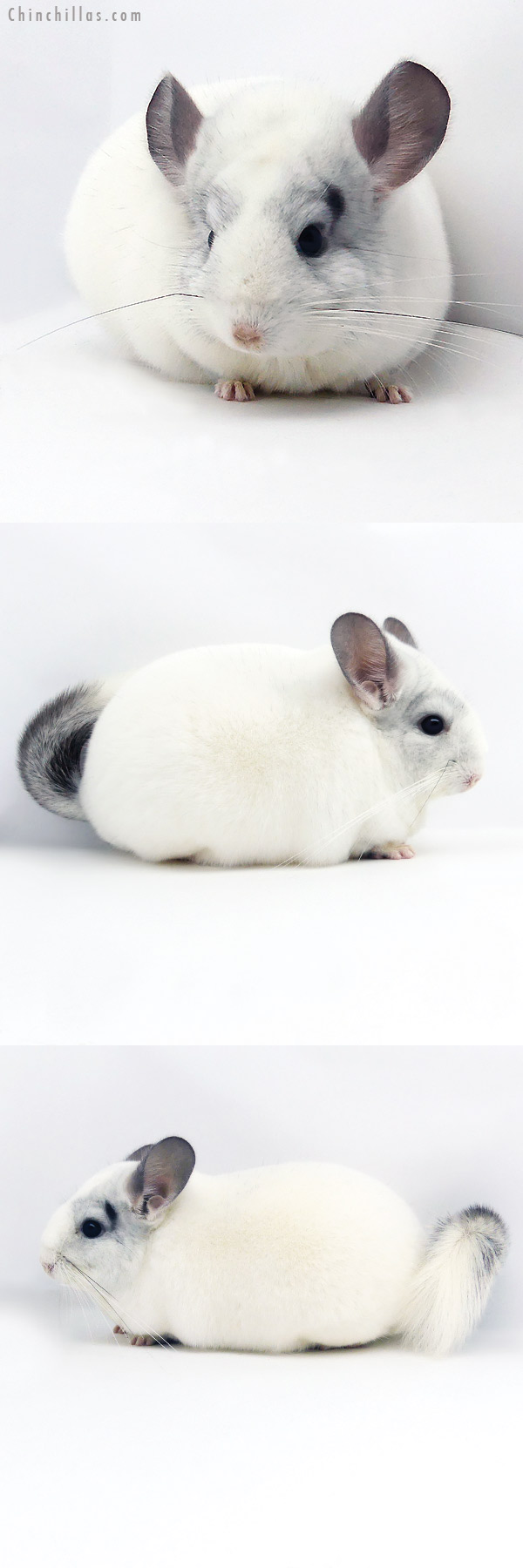 19348 Premium Production Quality Predominantly White Female Chinchilla