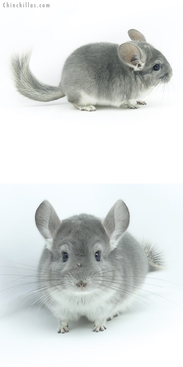 19350 Top Show Quality Violet Male Chinchilla
