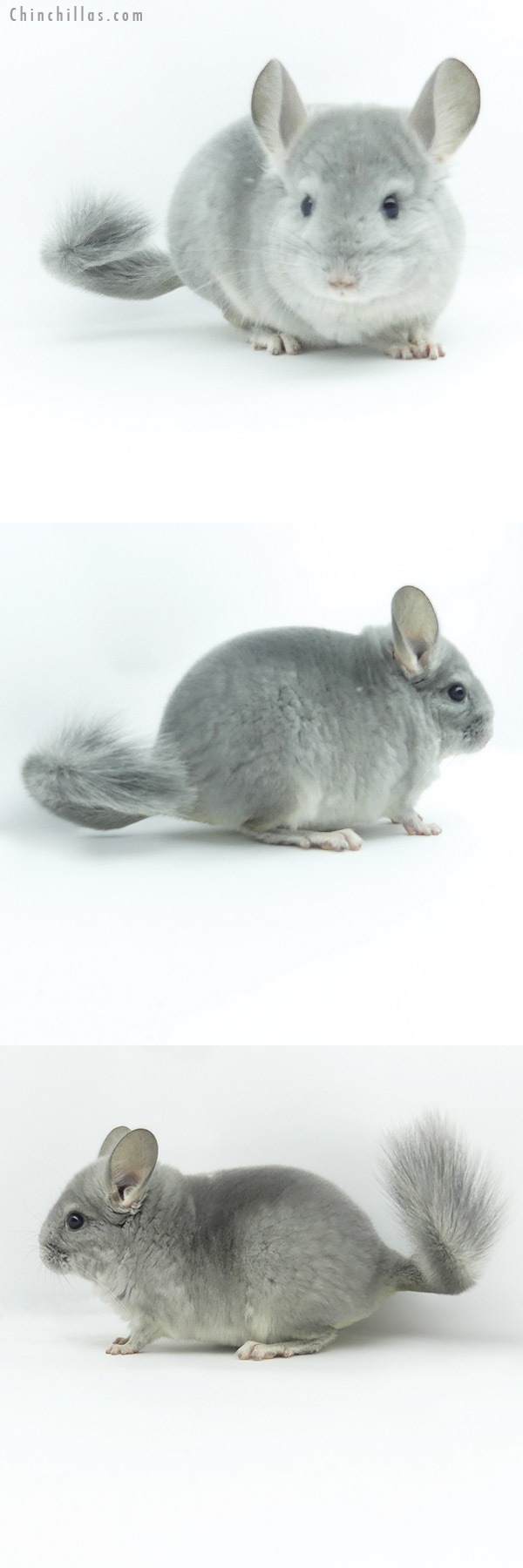 19368 Show Quality Blue Diamond Male Chinchilla