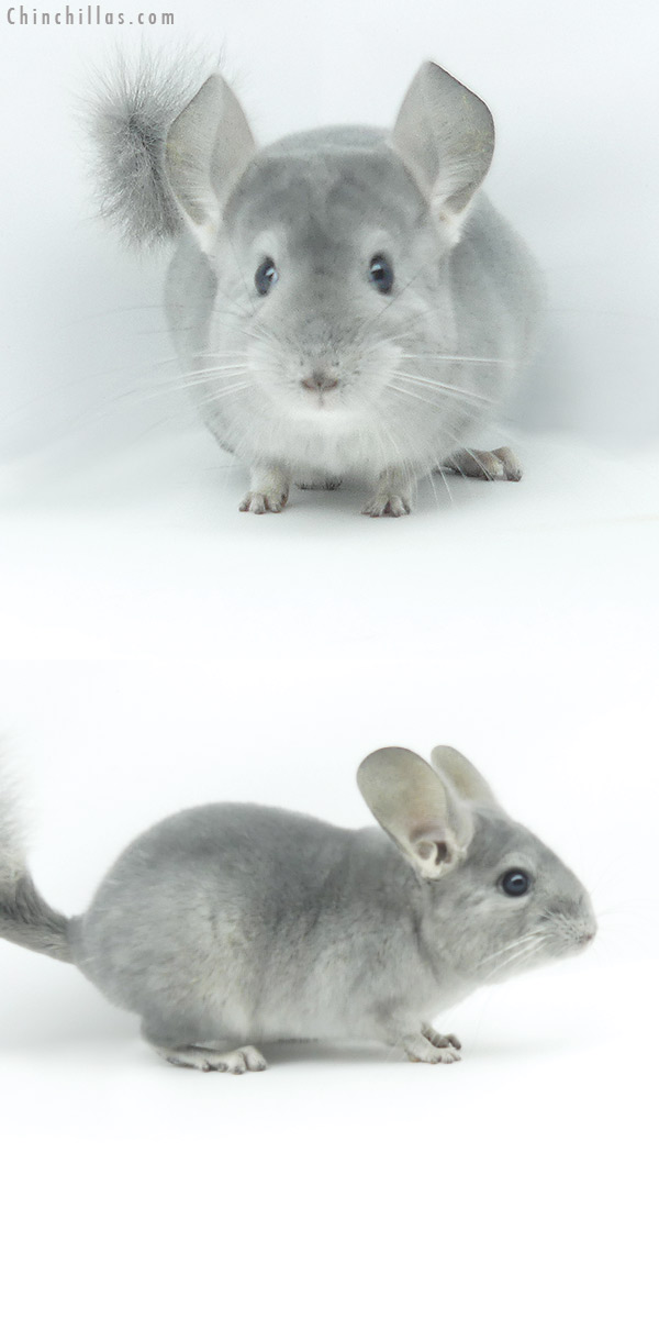 19385 Show Quality Blue Diamond Female Chinchilla