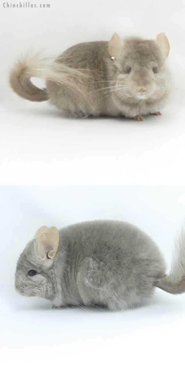 19459 Tan ( Locken Carrier ) CCCU Royal Persian Angora Male Chinchilla