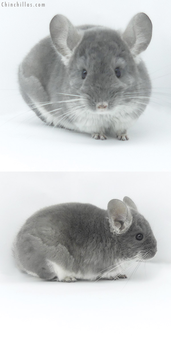 19469 TOV Violet Female Chinchilla