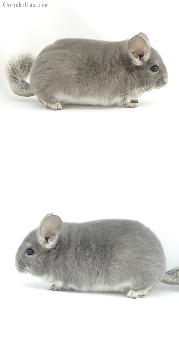 19516 Blocky Top Show Quality Violet Male Chinchilla