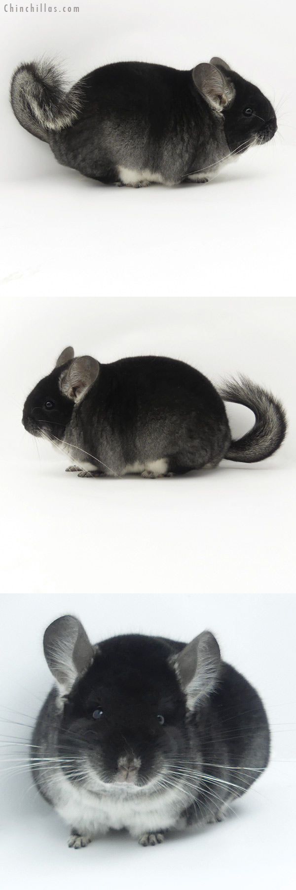 20009 Herd Improvement Quality Black Velvet Male Chinchilla