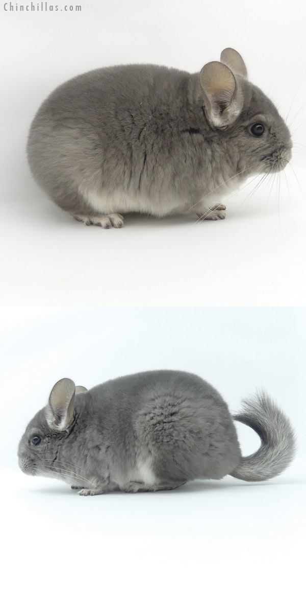 20022 Premium Production Quality Violet Female Chinchilla