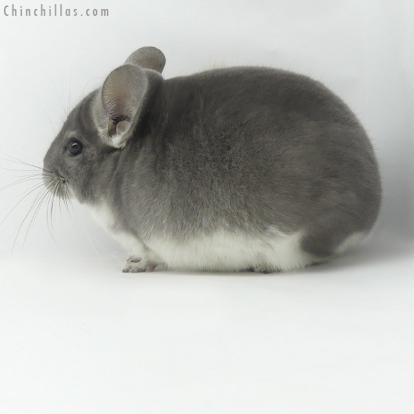 20033 Herd Improvement Quality Violet Male Chinchilla