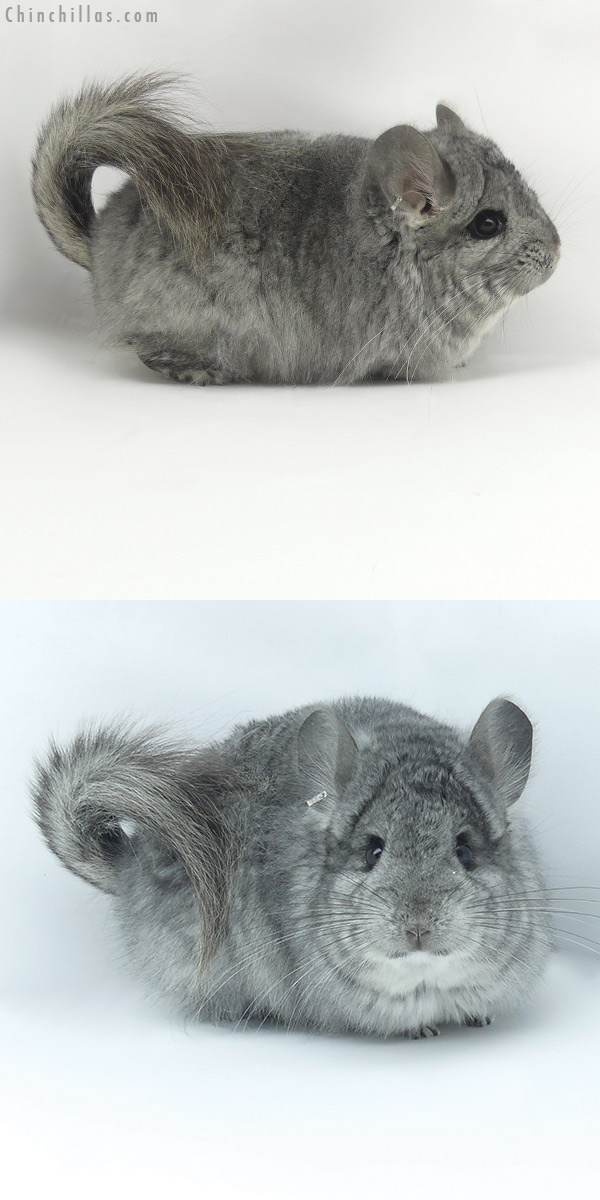 20023 Standard CCCU Royal Persian Angora Female Chinchilla