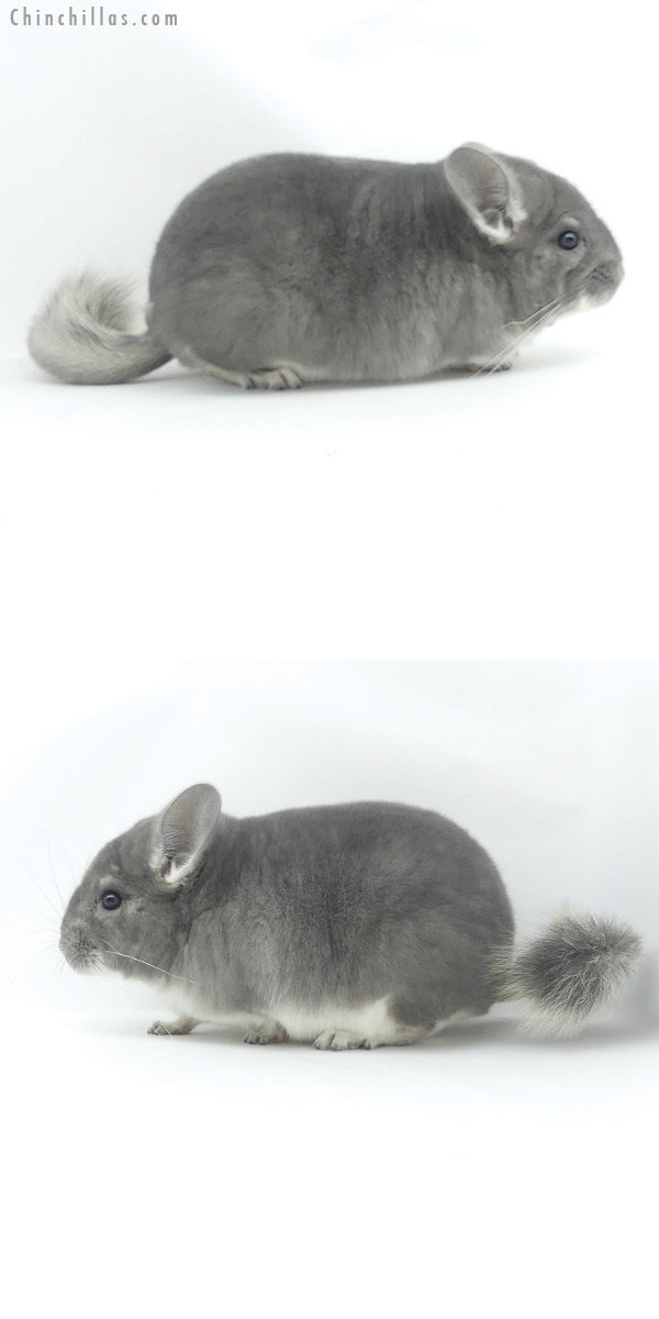 20036 Blocky Top Show Quality Violet Male Chinchilla