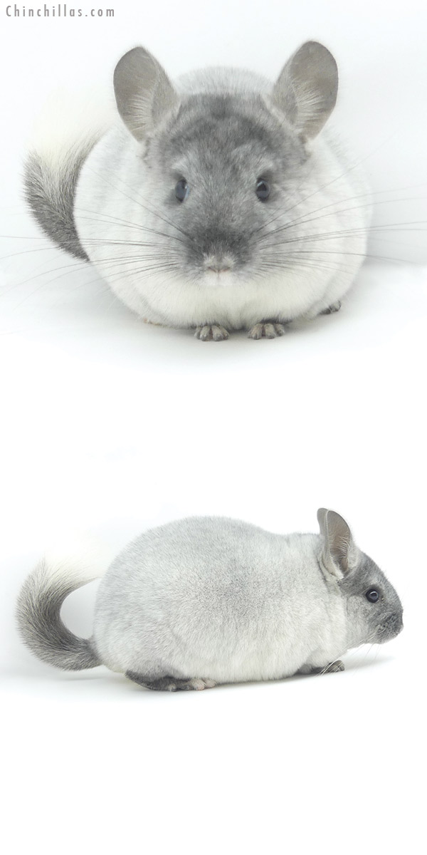 20035 Top Show Quality Ebony & White Mosaic Male Chinchilla