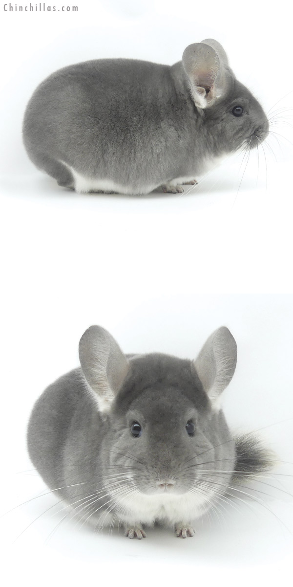 20045 Large Blocky Premium Production Quality Violet Female Chinchilla