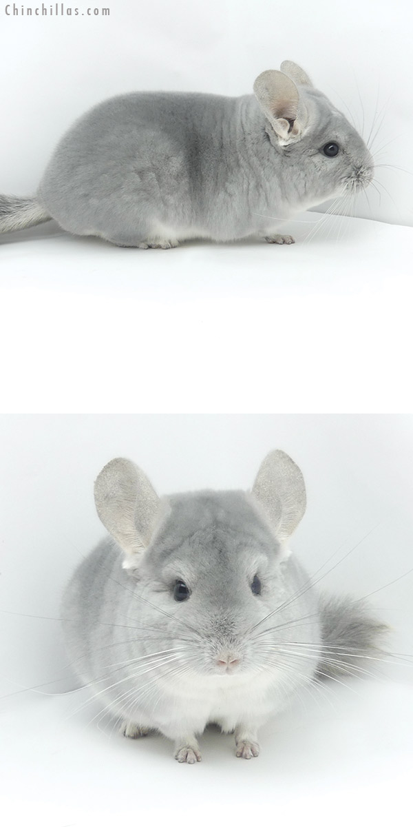 20046 Premium Production Quality Blue Diamond Female Chinchilla