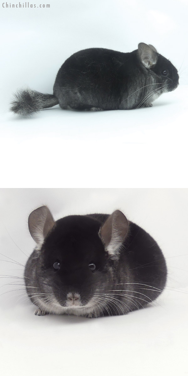 20099 Show Quality Black Velvet Female Chinchilla