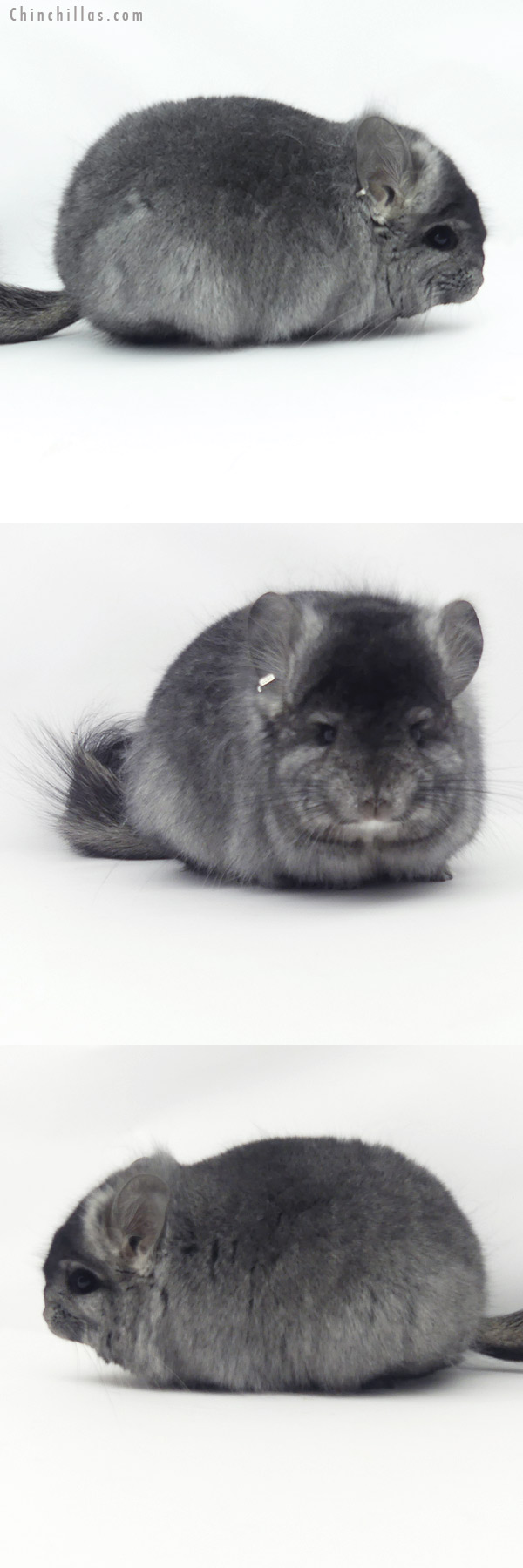 20144 Ebony CCCU Royal Persian Angora Female Chinchilla