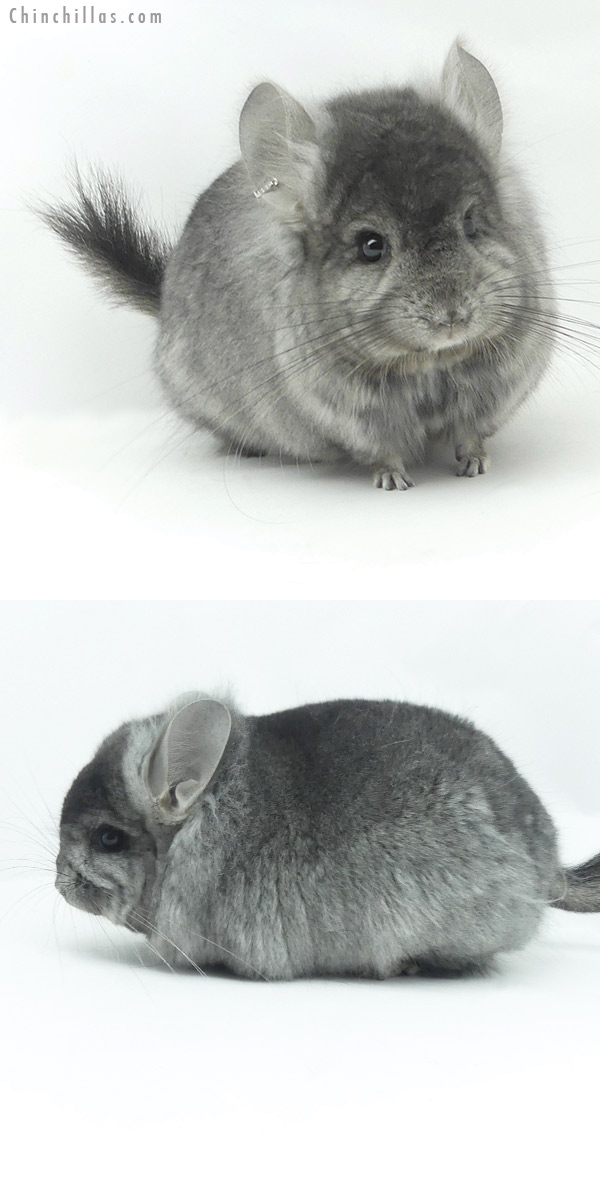 20138 Ebony ( Locken Carrier ) CCCU Royal Persian Angora Male Chinchilla