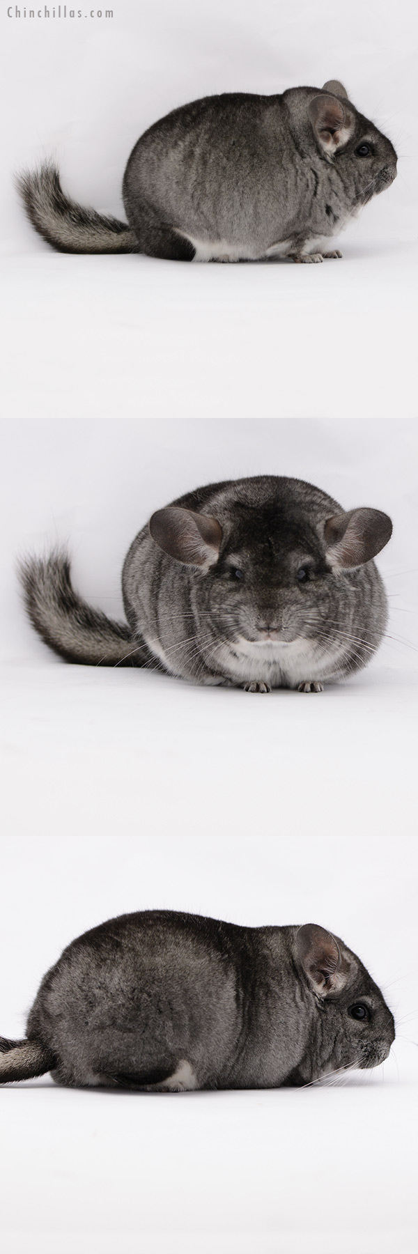 20198 Large Blocky Premium Production Quality Standard Female Chinchilla